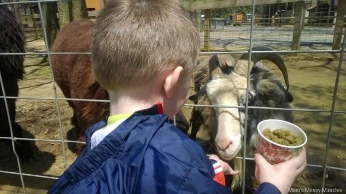 feeding goats and alpacas
