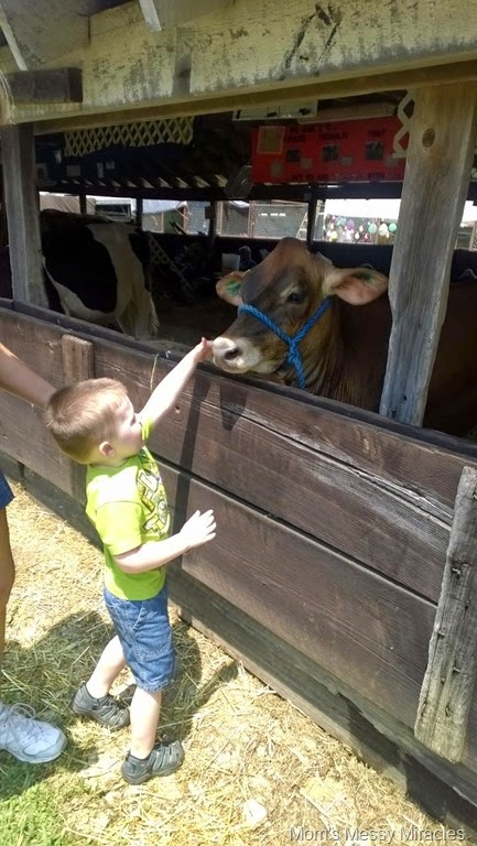 petting a cow at the fair