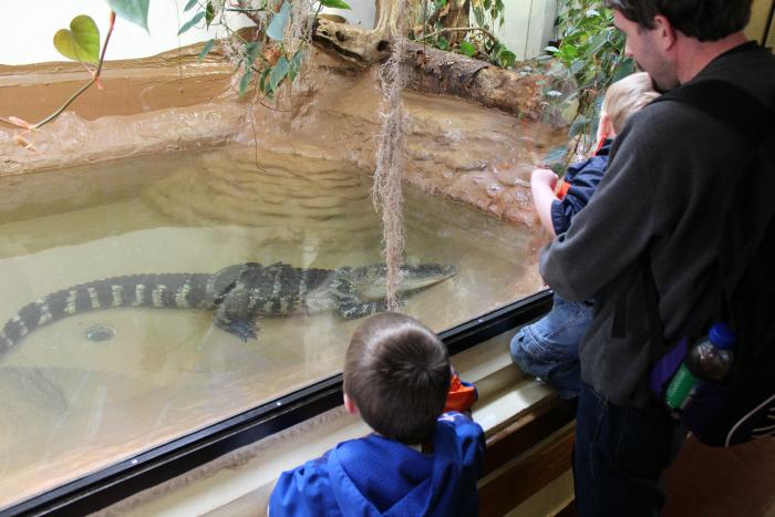 American Alligator at ZooAmerica Hersheypark